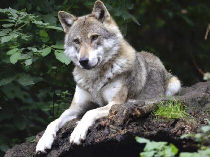 Słynny wilk Kosy zastrzelony. Policja zatrzymała podejrzanego myśliwego. Śmierć wilka była wyrokiem dla jego szczeniaków