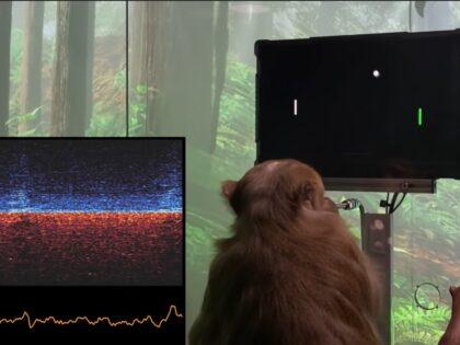 Elon Musk testuje nową technologię! Małpa z chipem gra w ponga!