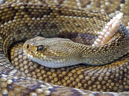 Pracownik zoo ukąszony przez jadowitego węża! Nie ma surowicy!